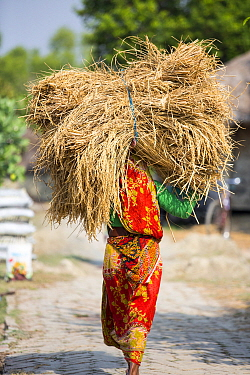 Woman carrying Rice crops harvested by hand in the Sunderbans, Ganges Delta, India.