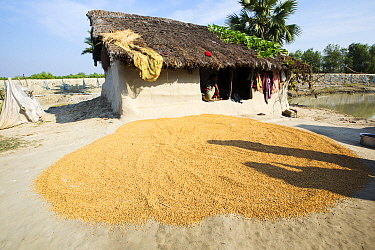 Rice crop drying, Sunderbans, Ganges Delta, India. December 2013.