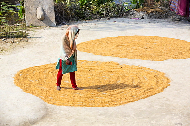Woman drying her rice crop in the Sunderbans, Ganges, Delta, India. December 2013.