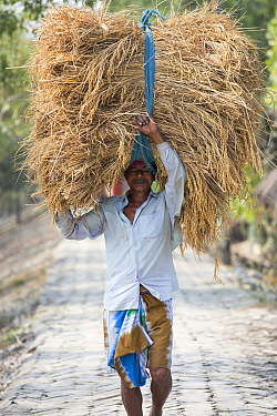 Man carrying Rice crop harvested by hand in the Sunderbans, Ganges Delta, India. 2013