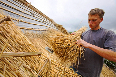 Man re-thatching old barn, Symondsbury, Dorset UK, June 2012.