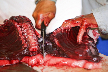 Seal meat butchered by an Inuit man, Ilulissat, Greenland, July 2008.