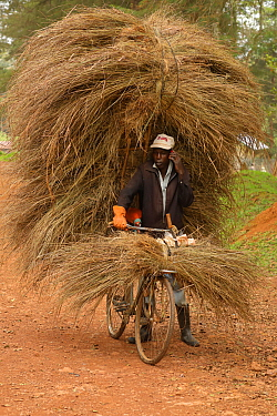 Luhya man cycling, carrying large load of grass for thatching building, Kakamega forest, Kenya, July 2017.