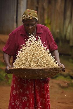 Luhya woman winnowing corn, Kakamega forest, Kenya, July.