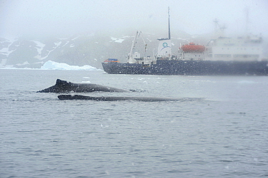 Humpback whales (Megaptera novaeangliae) with ship Polar Pioneer in the background.  Cierva Cove.  Lemaire Channel.  Antarctic Peninsula. January 2017.