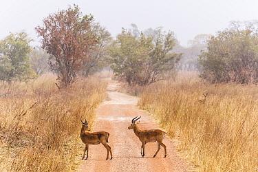 Buffon's kob (Kobus Kob) on track  in  Pendjari National Park, Benin.