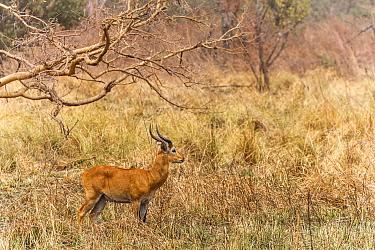 Buffon's kob (Kobus kob) Pendjari National Park, Benin.