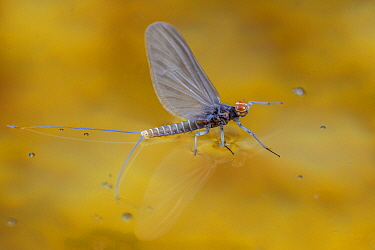Blue winged olive mayfly (Baetis tricaudatus) flying in front of aspen leaves. Bozeman, Montana, USA. April.