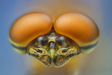 Pink lady mayfly (Epeorus albertae) close up of eyes of male , Madison River, Montana, USA, August.