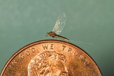 Tiny blue wing olive (Acentrella turbida) on US penny, Bozeman, Montana, USA. August.