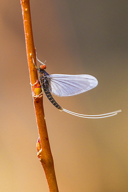 Blue winged olive mayfly (Baetis tricaudatus) Bozeman, Montana, USA.