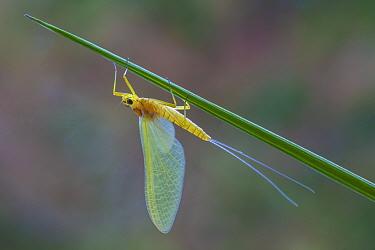 Yellow dun mayfly (Heptagenia sulphurea) female, River Usk, Wales, UK, May.
