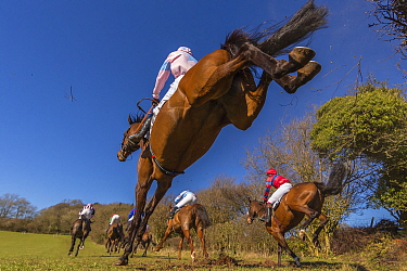 Point-to-Point horse racing, low angle view of racehorses jumping fence, Monmouthshire, Wales, UK. March 2014.