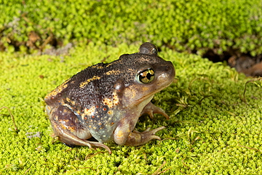 Eastern spadefoot toad (Scaphiopus holbrookii) Florida, USA, August. Controlled conditions.