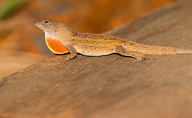 Brown anole (Anolis sagrei) displaying dewlap, North Florida,USA, July. Introduced species.