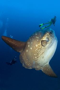 Scuba diver with Ocean Sunfish (Mola mola) Crystal Bay, Nusa Penida, Bali Island, Indonesia, Pacific Ocean