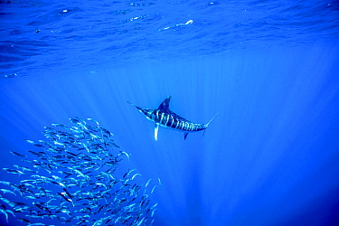 Striped marlin (Kajikia audax) feeding on bait balls, Eastern Pacific, Thetis Bank, Baja California, Mexico