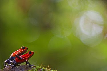 Strawberry poison frog (Oophaga pumilio) pair mating, Sarapiqui, Heredia, Costa Rica.