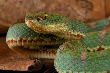 Eyelash viper (Bothriechis schlegelii) portrait, Canande, Esmeraldas, Ecuador.