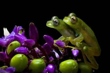 Emerald glass frog (Espadarana prosoblepon) pair mating, Mindo, Pichincha, Ecuador.