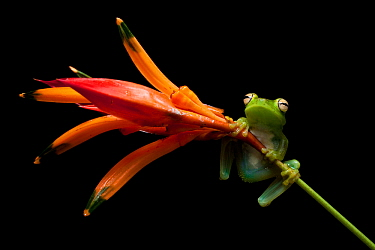 Palmar tree frog (Boana / Hypsiboas pellucens) on plant stem, Mindo, Pichincha, Ecuador.