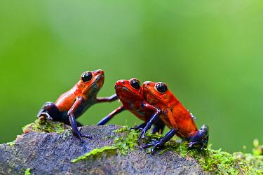 Three Strawberry poison frogs (Oophaga pumilio) on rock, Sarapiqui, Heredia, Costa Rica.