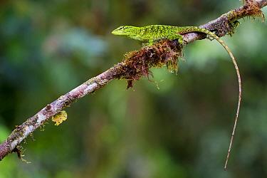 Chocoan green anole (Anolis parvauritus) on twig, Canande, Esmeraldas, Ecuador.