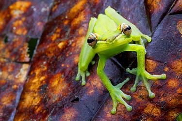Palmar tree frog (Boana / Hypsiboas pellucens) on leaf, Canande, Esmeraldas, Ecuador.