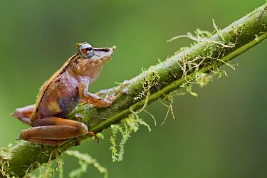 Pinnochio rainfrog (Pristimantis appendiculatus) on twig, Mindo, Pichincha, Ecuador.