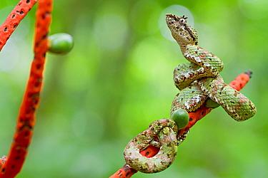 Eyelash viper (Bothriechis schlegelii) on plant, Sarapiqui, Heredia, Costa Rica.