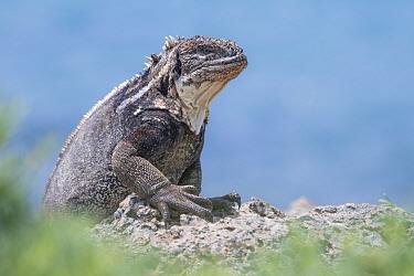 Galapagos land iguana (Conolophus subcristatus) x Marine iguana (Amblyrhynchus cristatus) hybrid, portrait, South Plaza Island, Galapagos, Vulnerable species.