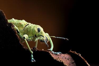 Broad nosed weevil (Compsus sp.) portrait, Yasuni National Park, Orellana, Ecuador.