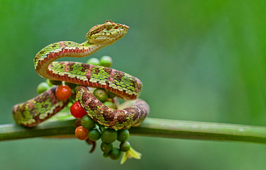 Eyelash palm pitviper (Bothriechis schlegelii) curled round berries on twig, Canande, Esmeraldas, Ecuador.