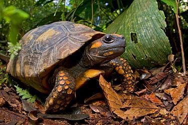 Yellow footed tortoise (Chelonoidis denticulata) portrait, Yasuni National Park, Orellana, Ecuador. Vulnerable species.