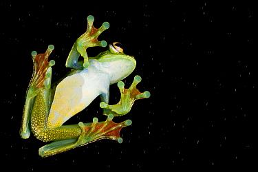 Palmar tree frog (Boana / Hypsiboas pellucens) underside seen through glass showing sticky /  suction pads on toes, San Lorenzo, Esmeraldas, Ecuador, Controlled conditions.