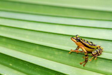Ornate rainfrog (Pristimantis ornatissimus) on leaf, Otongachi, Santo Domingo de los Tsachilas, Ecuador, Vulnerable species.