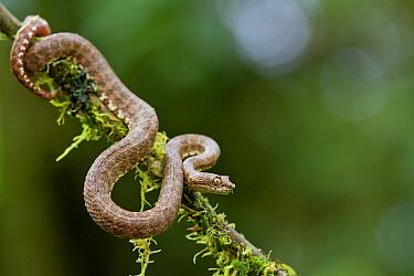 Eyelash viper (Bothriechis schlegelii) on twig, Canande, Esmeraldas, Ecuador.