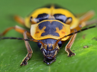 Frontal portrait of a Soldier beetle (Cantharidae) South-east atlantic forest. Piedade, Sao Paulo, Brazil.