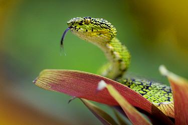 Eyelash palm pit viper (Bothriechis schlegelii) with tongue extended, Mindo, Pichincha, Ecuador.
