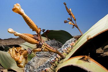 Welwitschia true bug (Probergrothius angolensis) on female Welwitschia / Tree tumbo (Welwitschia mirabilis) with cones, Swakopmund, Erongo, Namibia.