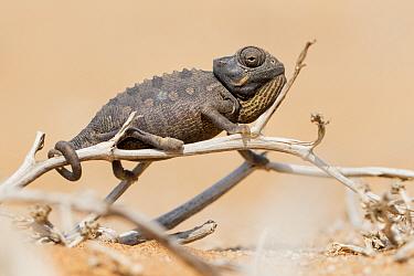Namaqua / Desert chameleon (Chamaeleo namaquensis) on twig, Swakopmund, Erongo, Namibia.