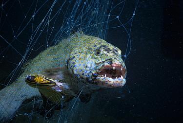 Squaretail grouper (Plectropomus truncatus) and Blackback Butterflyfish (Chaetodon melannotus) caught in Bedouin gill net, Egypt, Red Sea