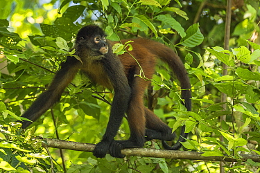 Geoffroy's spider monkey (Ateles geoffroyi) walking along branch, Corcovado National Park, Osa Peninsula, Costa Rica, Endangered species. Small repro only.