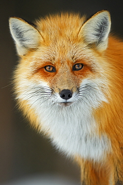 Red fox (Vulpes vulpes) portrait in snow, Grand Teton National Park, Wyoming, USA, February.