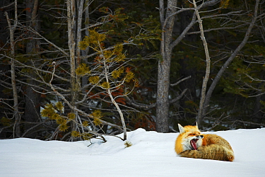 Red fox (Vulpes vulpes) resting  in snow, Grand Teton National Park, Wyoming, USA, February.