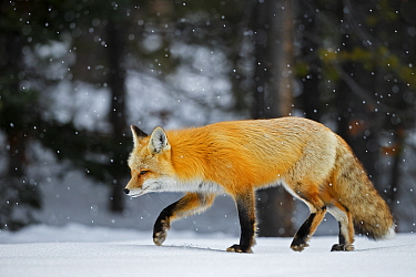 Red fox (Vulpes vulpes) in snow, Grand Teton National Park, Wyoming, USA, February.