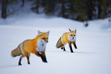 Red fox (Vulpes vulpes) two running in snow, Grand Teton National Park, Wyoming, USA, February.