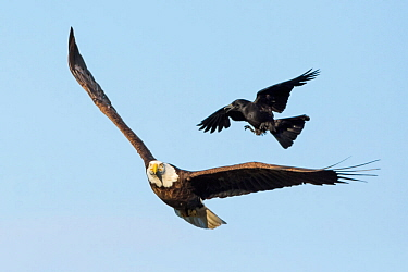 Bald Eagle (Haliaeetus leucocephalus) harassed by American crow (Corvus brachyrhynchos). Acadia National Park, Maine, USA. June.