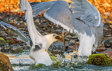 Herring gull (Larus argentatus) gulls fighting for Alewife (Alosa pseudoharengus). Atlantic Ocean. Acadia National Park, Maine, USA. June.