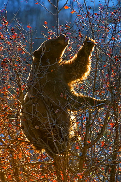 Black bear (Ursus americanus) in tree feeding on Hawthorn berries at sunrise. Grand Teton National Park, Wyoming, USA. October.